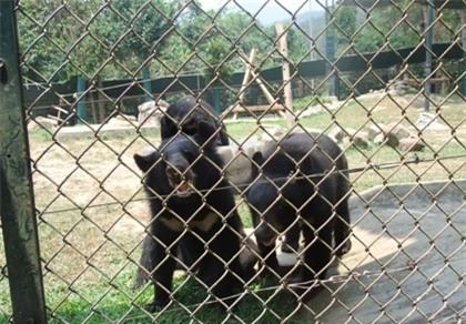 Uống mật gấu có thể trúng độc đến tử vong