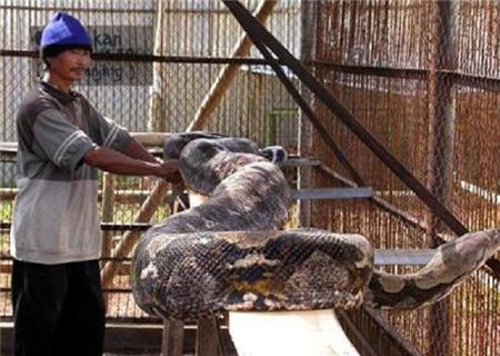 Thực hư về trăn thần khổng lồ 140 tuổi ở Malaysia 2