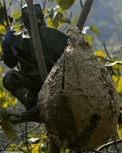 Kinh sợ loài ong khổng lồ, cực độc khiến 42 người vong mạng | Chuyện lạ 4 phương,Chuyện lạ thế giới,Phi thường,Chuyện lạ có thật,Chuyện lạ khó tin