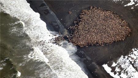 Chuyện hiếm thấy: 35.000 con hải mã ồ ạt di cư từ Bắc Cực sang Mỹ