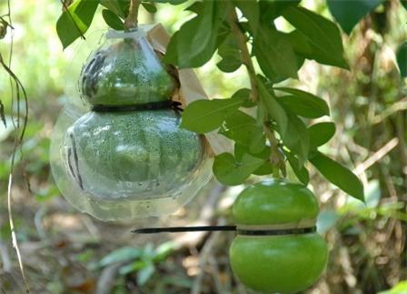 Quà Tết siêu độc: Hơn nửa triệu đồng một trái đào tiên hồ lô