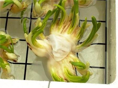 Chị em sành chơi thủy tiên nở hoa đúng đêm Giao thừa - 13