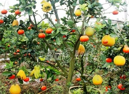 Những cây quả độc mùa Tết có tiền triệu không mua nổi