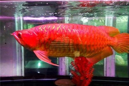Con cá huyết rồng 300 triệu ở Sài Gòn