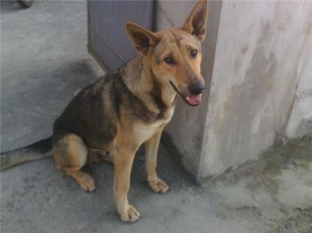 Chú chó chuyên trộm thịt lợn, mang về cho chủ nghèo