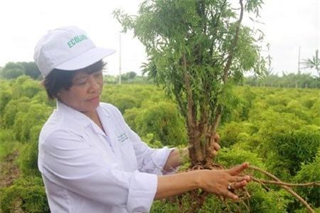 Cả làng chặt cây cảnh bạc tỷ trồng… đinh lăng