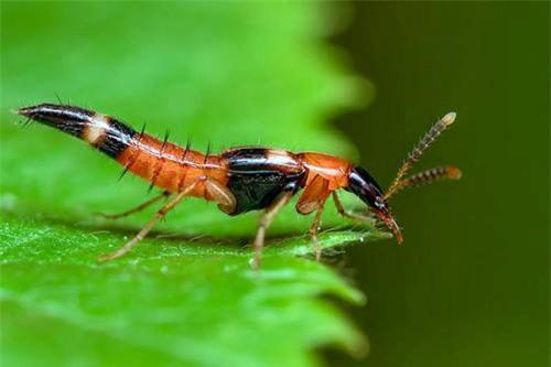 Hình ảnh kiến ba khoang (Ảnh minh họa)