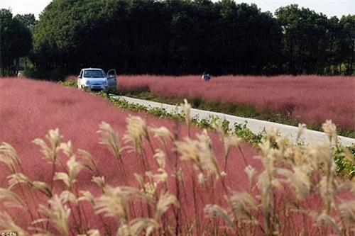 Giới trẻ mê mẩn cánh đồng cỏ hồng đẹp như mơ - 5