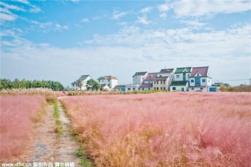 Giới trẻ mê mẩn cánh đồng cỏ hồng đẹp như mơ - 9