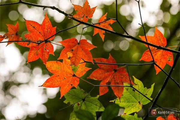 Mê mẩn với cánh rừng lá phong độc nhất vô nhị tại Đà Lạt - Ảnh 1.
