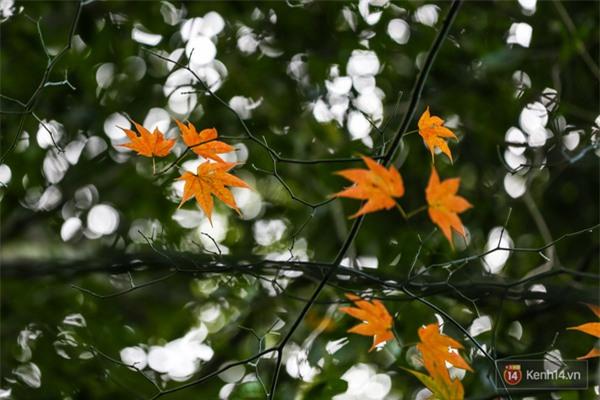 Mê mẩn với cánh rừng lá phong độc nhất vô nhị tại Đà Lạt - Ảnh 13.