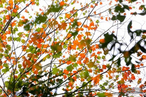 Mê mẩn với cánh rừng lá phong độc nhất vô nhị tại Đà Lạt - Ảnh 14.
