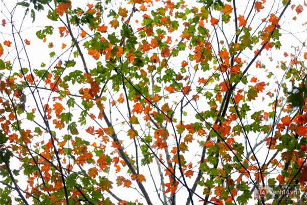 Mê mẩn với cánh rừng lá phong độc nhất vô nhị tại Đà Lạt - Ảnh 15.