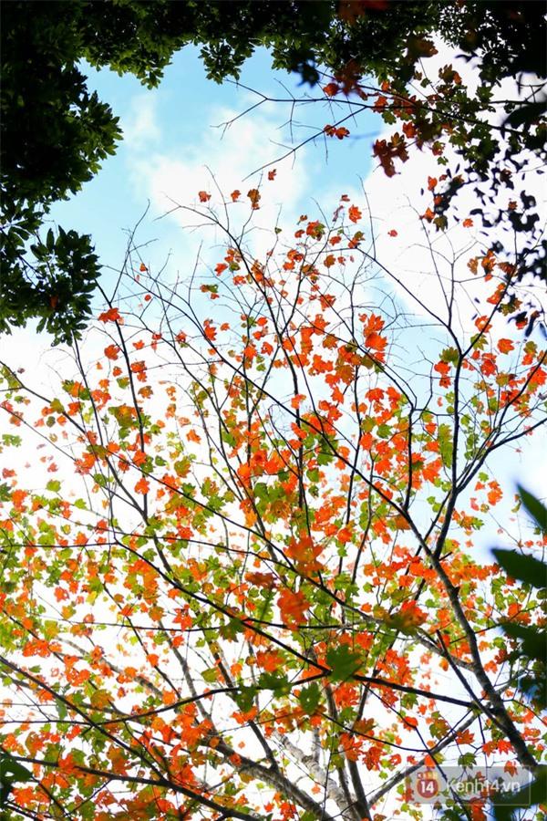 Mê mẩn với cánh rừng lá phong độc nhất vô nhị tại Đà Lạt - Ảnh 16.