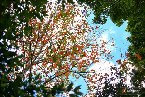 Mê mẩn với cánh rừng lá phong độc nhất vô nhị tại Đà Lạt - Ảnh 17.