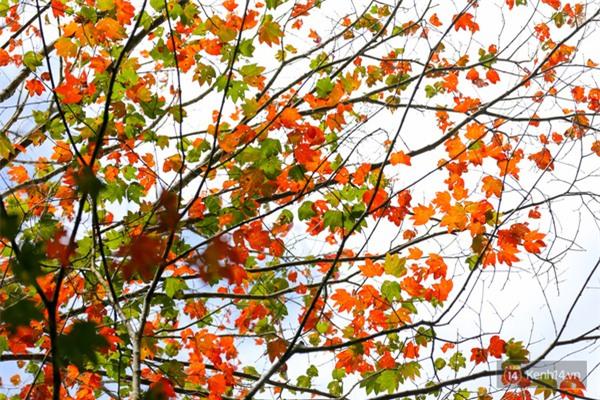 Mê mẩn với cánh rừng lá phong độc nhất vô nhị tại Đà Lạt - Ảnh 18.