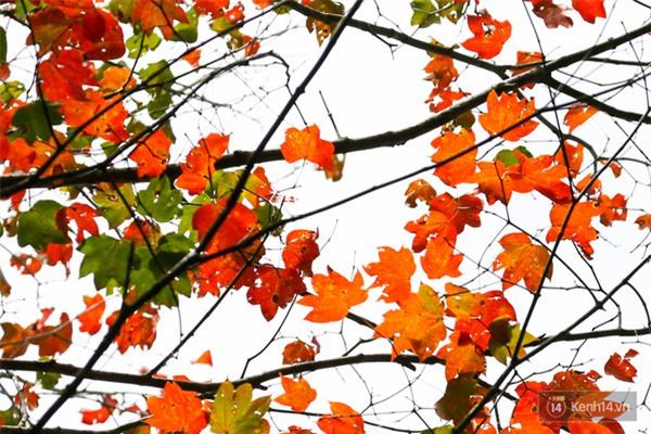 Mê mẩn với cánh rừng lá phong độc nhất vô nhị tại Đà Lạt - Ảnh 19.