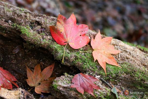 Mê mẩn với cánh rừng lá phong độc nhất vô nhị tại Đà Lạt - Ảnh 2.