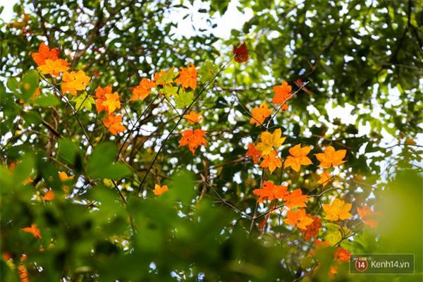 Mê mẩn với cánh rừng lá phong độc nhất vô nhị tại Đà Lạt - Ảnh 20.