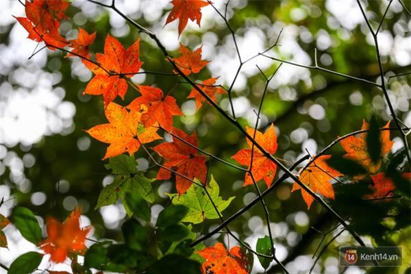 Mê mẩn với cánh rừng lá phong độc nhất vô nhị tại Đà Lạt - Ảnh 21.