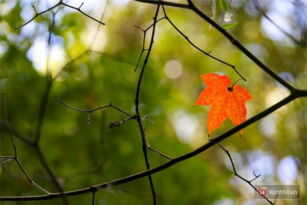 Mê mẩn với cánh rừng lá phong độc nhất vô nhị tại Đà Lạt - Ảnh 22.