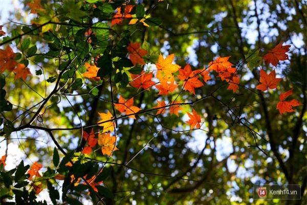 Mê mẩn với cánh rừng lá phong độc nhất vô nhị tại Đà Lạt - Ảnh 23.