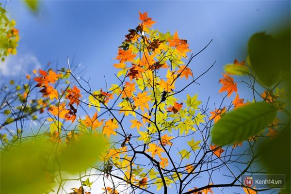 Mê mẩn với cánh rừng lá phong độc nhất vô nhị tại Đà Lạt - Ảnh 24.