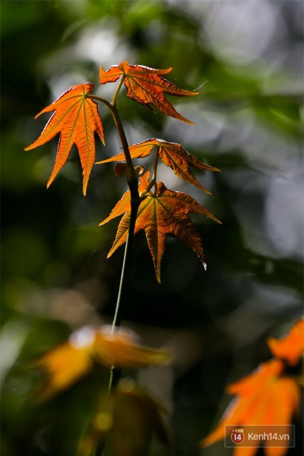 Mê mẩn với cánh rừng lá phong độc nhất vô nhị tại Đà Lạt - Ảnh 27.