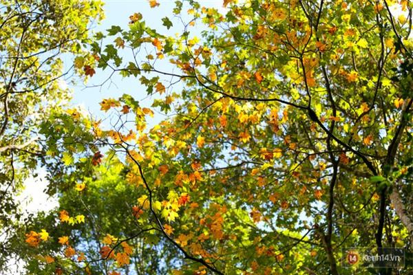 Mê mẩn với cánh rừng lá phong độc nhất vô nhị tại Đà Lạt - Ảnh 28.