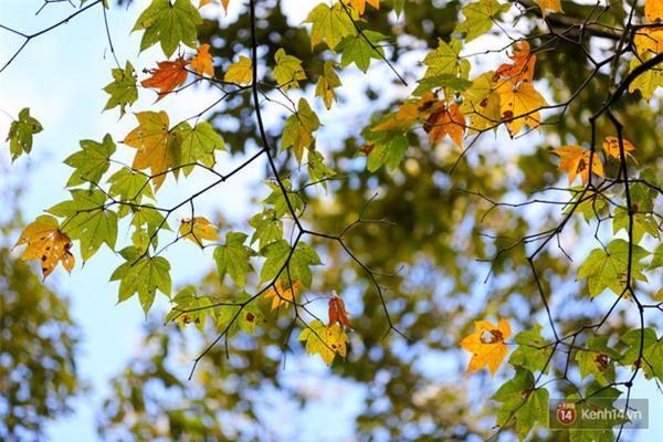 Mê mẩn với cánh rừng lá phong độc nhất vô nhị tại Đà Lạt - Ảnh 30.