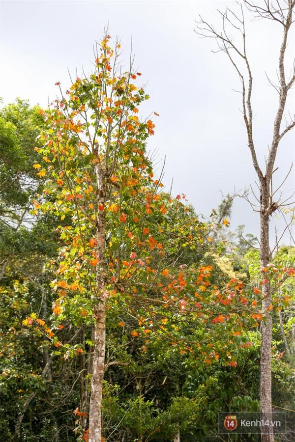 Mê mẩn với cánh rừng lá phong độc nhất vô nhị tại Đà Lạt - Ảnh 32.