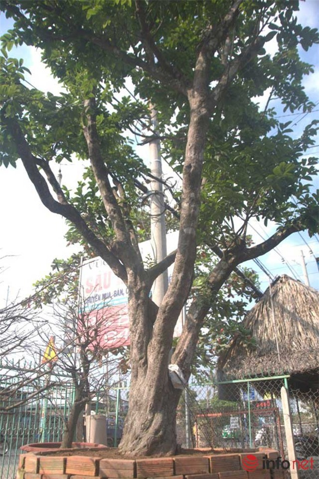Cây cảnh, tiền tỷ, vường kiểng, nghệ nhân, đại gia, Phiến cá, vườn cảnh, cây mai, cây sanh, siêu cây, cây khế, cây tùng, cây-cảnh, tiền-tỷ, vường-kiểng, nghệ-nhân, đại-gia, Phiến-cá, vườn-cảnh, cây-mai, cây-sanh, siêu-cây, cây-khế, cây-tùng