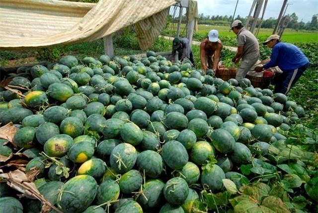 giải cứu nông sản, nông sản, đổ cho bò, được mùa mất giá, nông sản xuất khẩu, nông sản đổ đi, Trung Quốc, giải-cứu-nông-sản, đổ-cho-bò, được-mùa-mất-giá, nông-sản-xuất-khẩu, Trung-Quốc