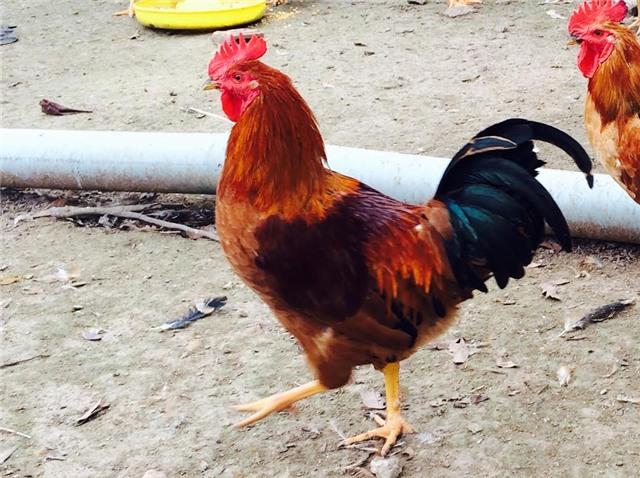 Chọn gà cúng tết, gà ri thuần chủng, cúng Tết, gà còn trinh, Tết, Tết nguyên đán, chọn-gà-cúng-tết, gà-ri-thuần-chủng, cúng-tết, gà-còn-trinh, tết-nguyên-đán
