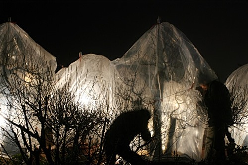 Người Hà Nội thắp đèn đêm 'sưởi ấm' cho hoa đào