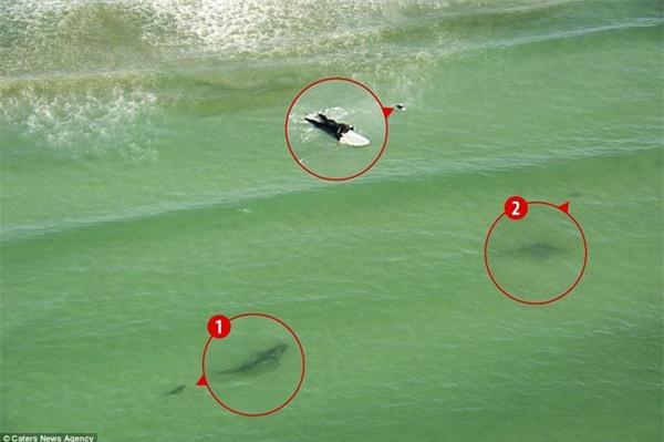 Kinh hoàng khoảnh khắc cô gái trẻ bị 5 con cá mập khổng lồ bao vây giữa biển khơi - Ảnh 3.