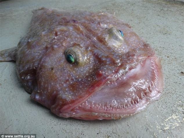 """Phát hiện """"quái vật biển"""" miệng rộng ở Úc - 1"""