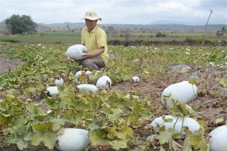 Nông dân loay hoay với cây nông sản mà không có bất kì định hướng nào