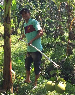 Nhiều nhà vườn ở ĐBĐCL bị thiệt hại nặng nề vì sản lượng giảm mạnh