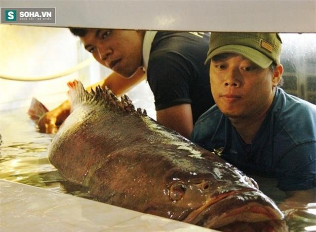 Cá mú, Côn Đảo, đại gia, thủy quái, cá sông, hải sản, dân nhậu, bàn nhậu