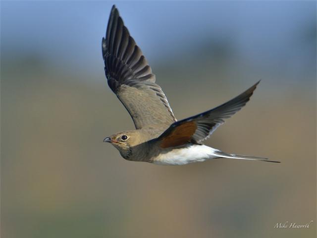 Bạn có biết một con chim có thể bay cao đến mức nào không? - Ảnh 1.