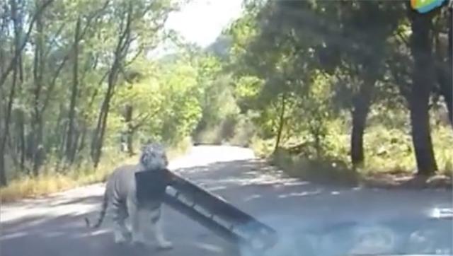 Clip: Thú dữ trong công viên từng có hổ vồ chết người tiếp tục tấn công du khách - Ảnh 4.