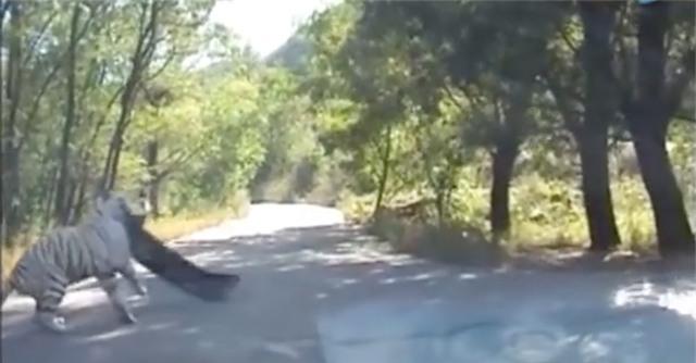 Clip: Thú dữ trong công viên từng có hổ vồ chết người tiếp tục tấn công du khách - Ảnh 5.