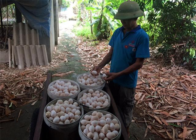 trứng gà, trứng gà ai cập, trứng gà ta, trứng gà ta thả vườn, mánh biến trứng gà ai cập thành gà ta, dân buôn trứng gà