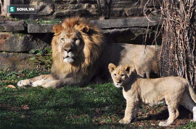 Đến ngày khó ở, sư tử đực hồn nhiên tấn công nhân viên vườn thú - Ảnh 1.