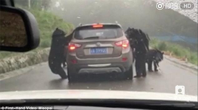 Video: Khoảnh khắc thót tim đàn gấu đen quây xe ô tô chở du khách tham quan công viên động vật hoang dã - Ảnh 2.