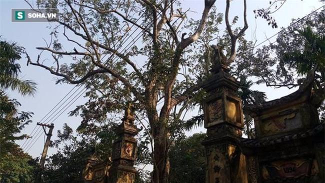 Cận cảnh cây sưa 50 tỷ trong vụ đánh nhau chảy máu đầu tại cuộc họp ở Bắc Ninh - Ảnh 3.