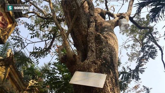 Cận cảnh cây sưa 50 tỷ trong vụ đánh nhau chảy máu đầu tại cuộc họp ở Bắc Ninh - Ảnh 4.