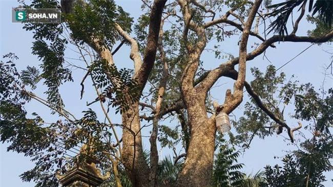Cận cảnh cây sưa 50 tỷ trong vụ đánh nhau chảy máu đầu tại cuộc họp ở Bắc Ninh - Ảnh 5.