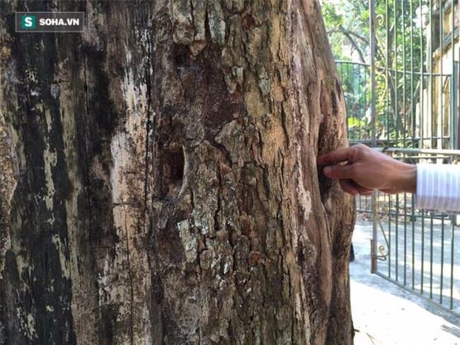 Cận cảnh cây sưa 50 tỷ trong vụ đánh nhau chảy máu đầu tại cuộc họp ở Bắc Ninh - Ảnh 8.